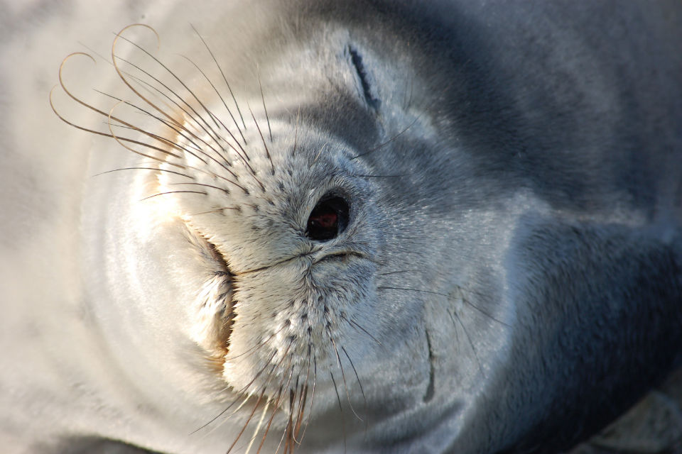 Photo of a Weddell seal asleep