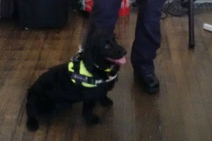 Border Force trainee search dog