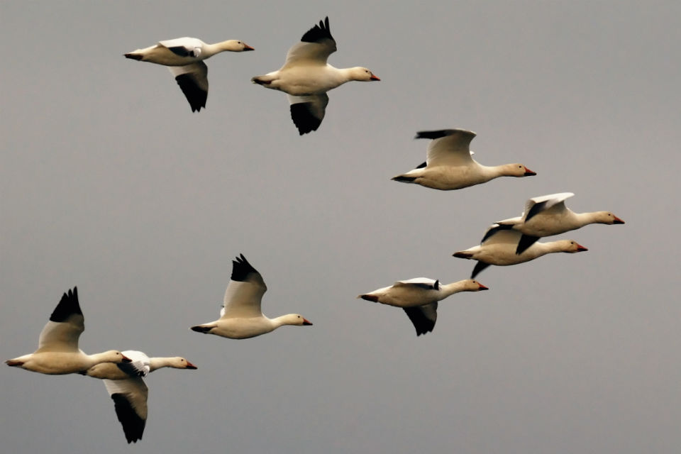Why Geese Fly In A V Formation Male Models Picture